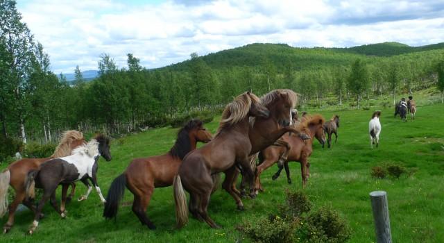 Hestslepp på Sandneset